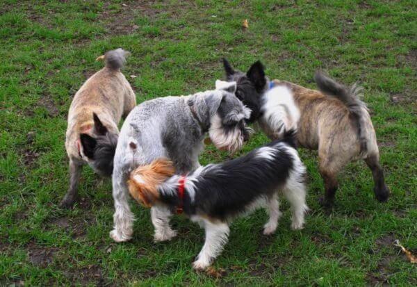 Чому собаки нюхають один одного під хвостом?
